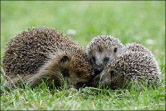 hedgehog and hoglets are forest dwellers