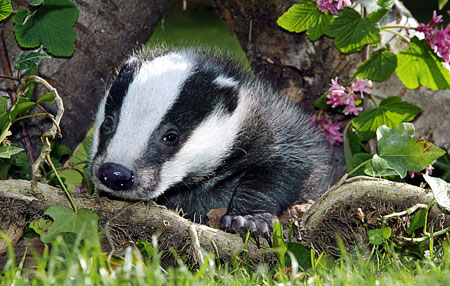 badger - specific features