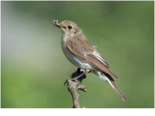 Мухоловка, рассказы про птиц