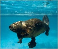 Бобры плывут под водой